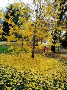 Ginko Tree Falling Silent Retreat