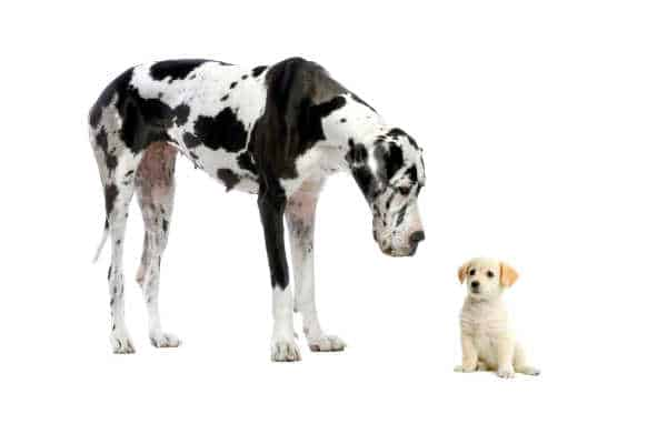 Big Dog and Small Dog, dalmations - like David and Goliath