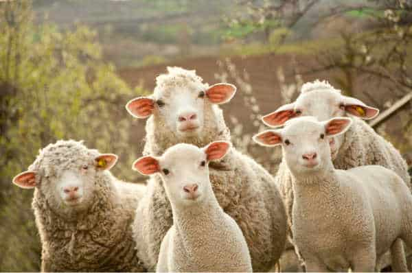 a bunch of sheep looking inquisitively at the camera
