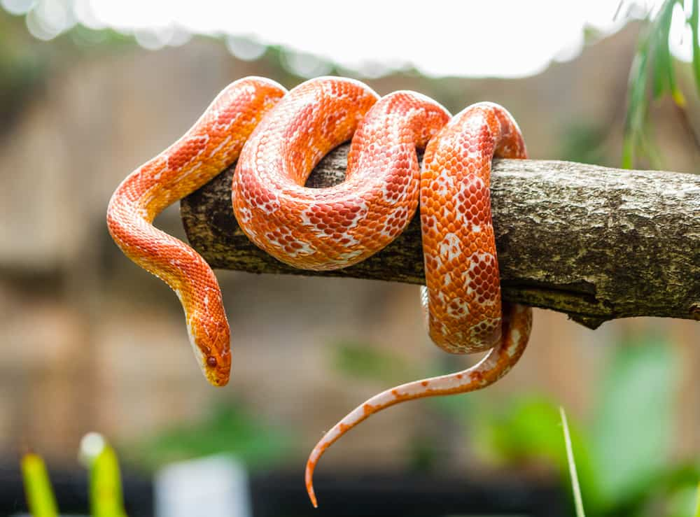 When God's kids complained about his cooking, He sent firey serpents among them.  This is an orange snake wrapped around a pole.