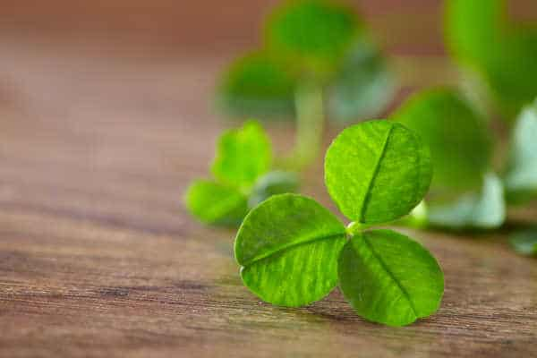 leaf clover on wood background like what St Patrick used to share the faith lesson about the trinity with the people of Ireland