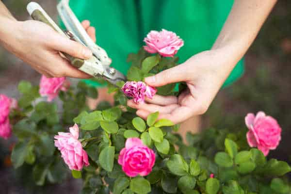 Woman pruning pink rose bush as an example of how to simplify your family schedule
